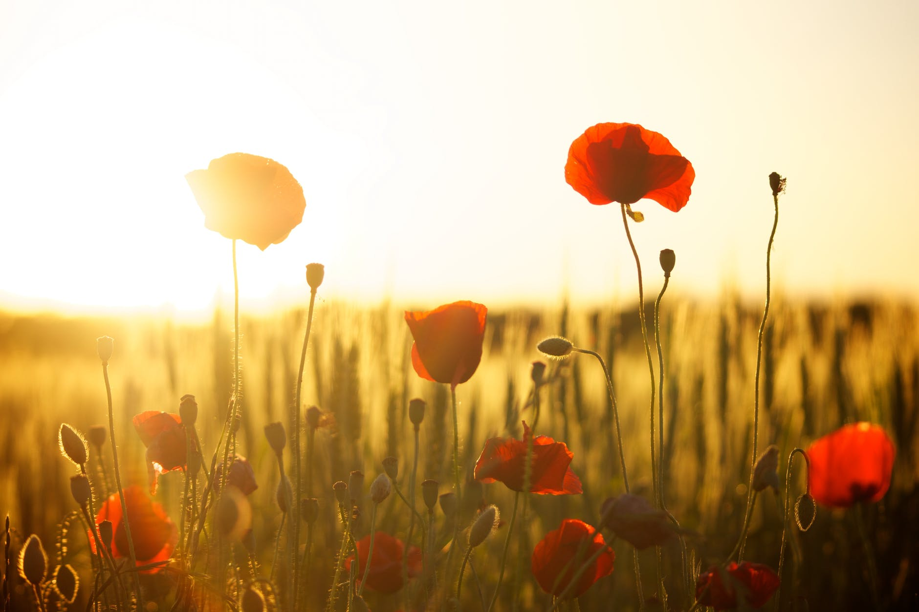 Modern picture of poppies. Photo by Pixabay on Pexels.com