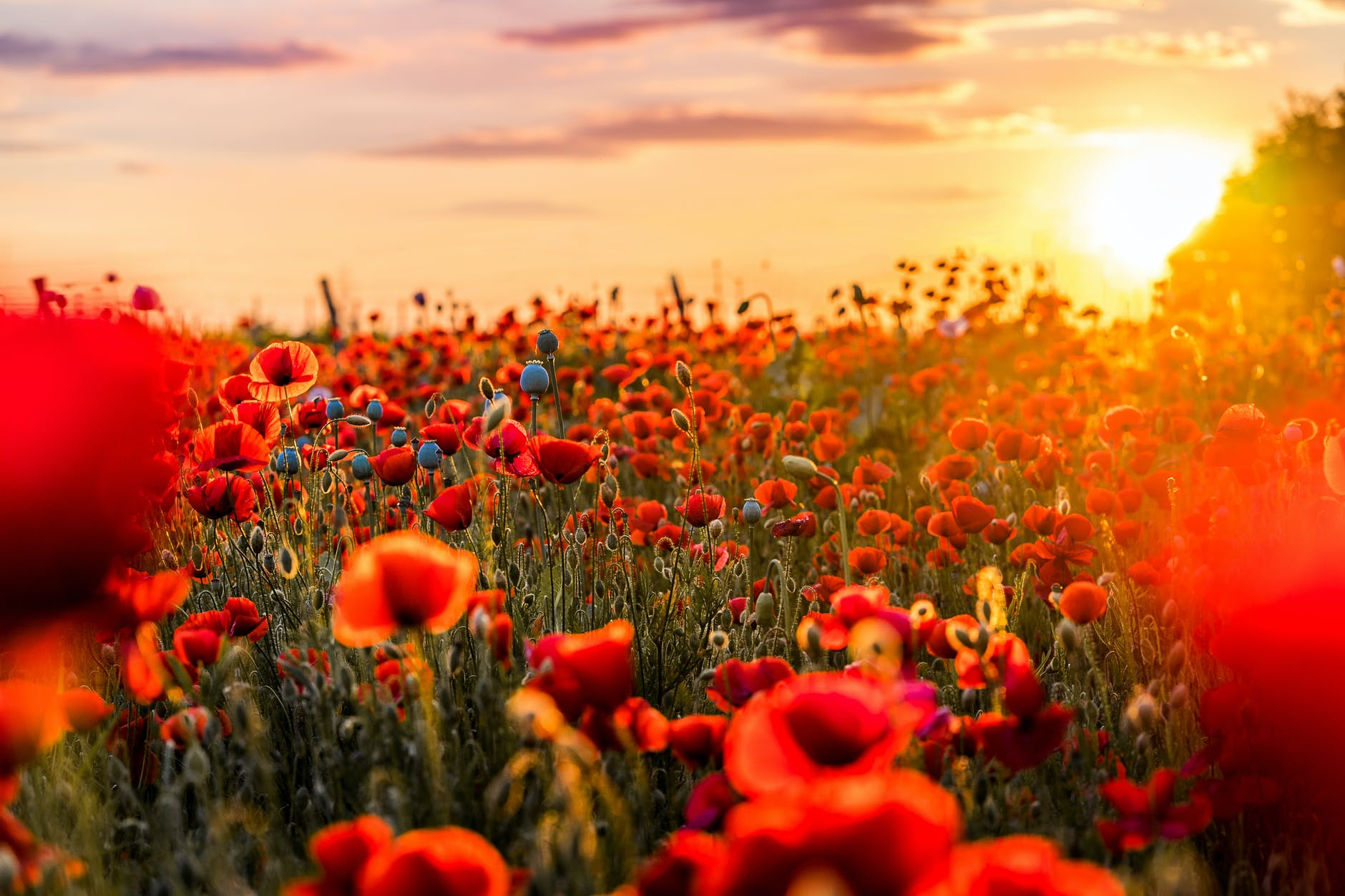 Modern image of a field of poppies.